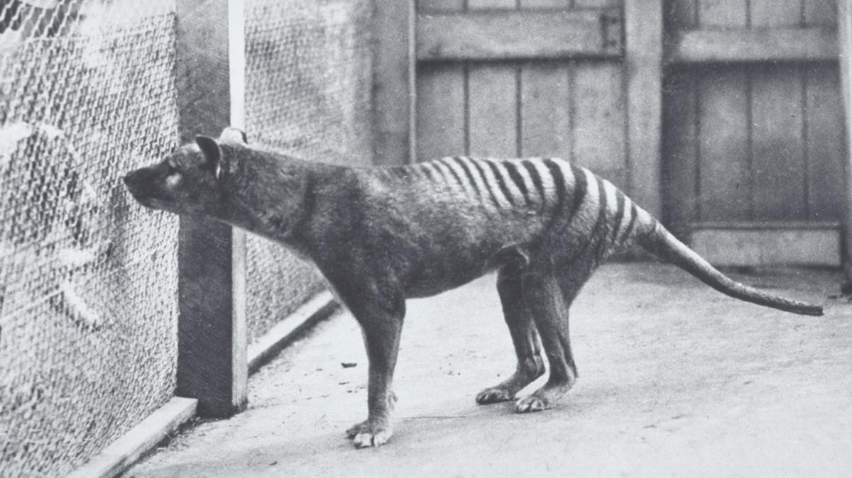 imágenes del último tigre de Tasmania