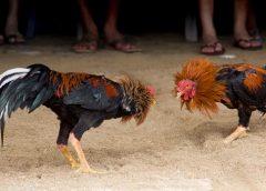 Gallo de pelea asesina a dueño durante pelea clandestina